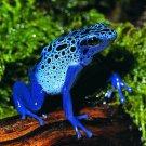 Blue Frog Wild Nature Animal 24x18 Print Poster