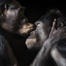 Kiss Chimps Romantic Love Chimpanzee 24x18 Print Poster
