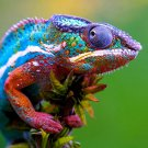 Chameleon Colors Animal Nature 24x18 Print Poster