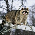 Cute Coon Branch Animals Nature Huge 47x35 Print Poster
