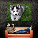 Cute Siberian Husky Puppy Dog Huge 47x35 Print POSTER