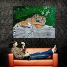 Tigers Couple Love Cute Animal Huge 47x35 Print Poster