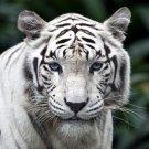 White Tiger Wild Cat Nature Animals 32x24 Print POSTER