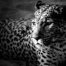 Leopard BW Wild Cat Nature Animals 32x24 Print POSTER