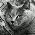 Fat Lazy Cat Bw Animal 32x24 Print Poster