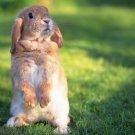 Funny Standing Rabbit Grass Animal 32x24 Print Poster
