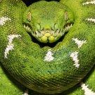 Python Green Snake Wild Nature Animal 32x24 Print Poster