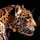 Leopard Wild Nature Animal 32x24 Print Poster