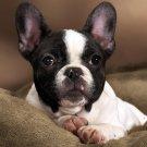 French Bulldog Dog Animal 32x24 Print Poster