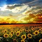 Sunflowers Field Sunset Nature 32x24 Print Poster