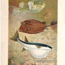 """Globe Fish and Coffer Fish"" artist P. J. Smit Color Plate,  BP19"
