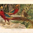 """Golden Pheasants"" artist W. Kuhnert. Color Plate,  BP23"