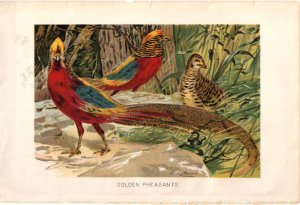 �Golden Pheasants� artist W. Kuhnert. Color Plate,  BP23
