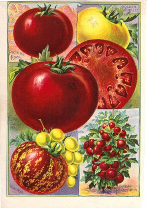 Childs� Peerless Tomatoes Color Plate,  BP27