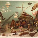 Undersea Creatures Color Plate R. S. Peale.,  BP28