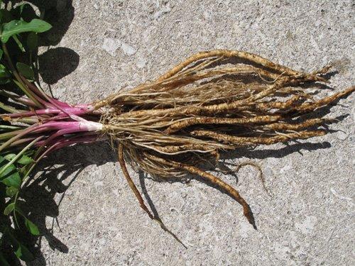 Skirret 15+ VIABLE seeds, new root vegetable (sium sisarium)