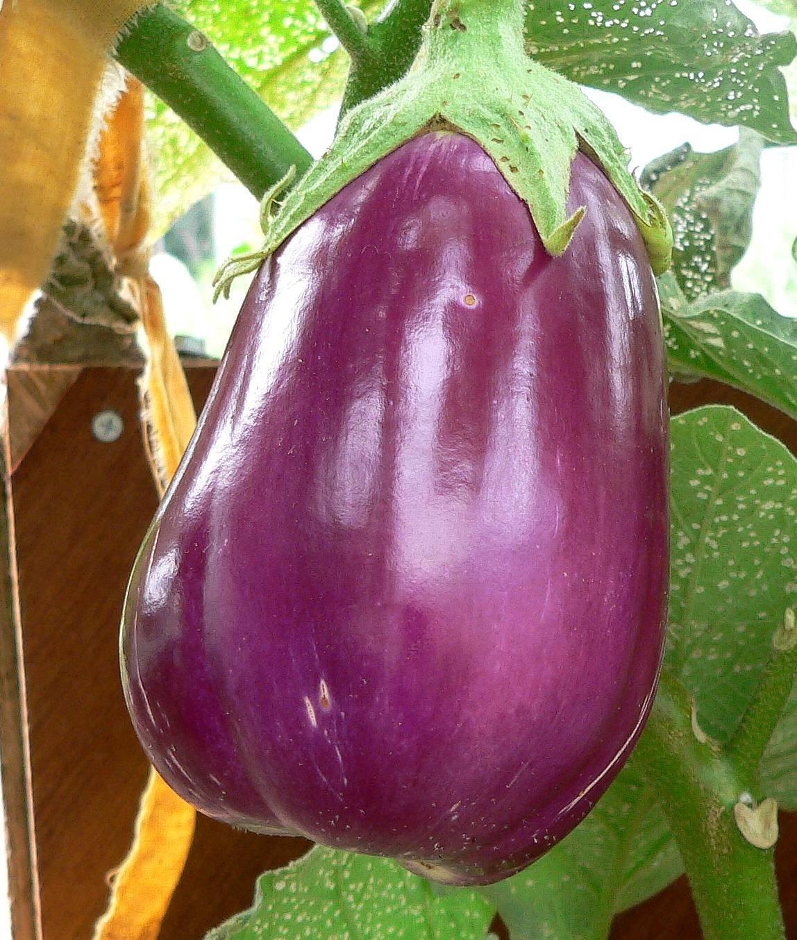 """Eggplant """"rosita"""" (beautiful violet heirloom!!) - 12+ seeds!"""