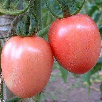 "TOMATOES ""Pink podland""  15+ seeds (pink color rare heirloom!)"