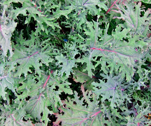 """Kale """"Red Russian Siberian"""", 25+ seeds, extremely healthy and cold hardy"""