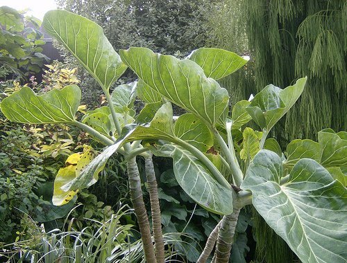Dendroseris litoralis, cabbage tree (endangered), 3 FRESH seeds, germ. assured