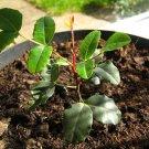 Carob tree (Ceratonia siliqua) 1 LIVE PLANT 10cm
