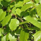 White Birch, 200+ seeds (betula alba Oct 2017), fresh seeds