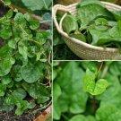 Malabar spinach - 1 live plant  -Basella alba