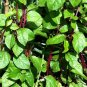 Malabar spinach - 15+ seeds  -Basella alba (fresh seeds!)