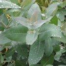 Eucalyptus globulus - 1 small tree! Easy to grow!