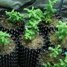 Frankincense plant, 20 viable seeds, Boswellia sacra (RARE)