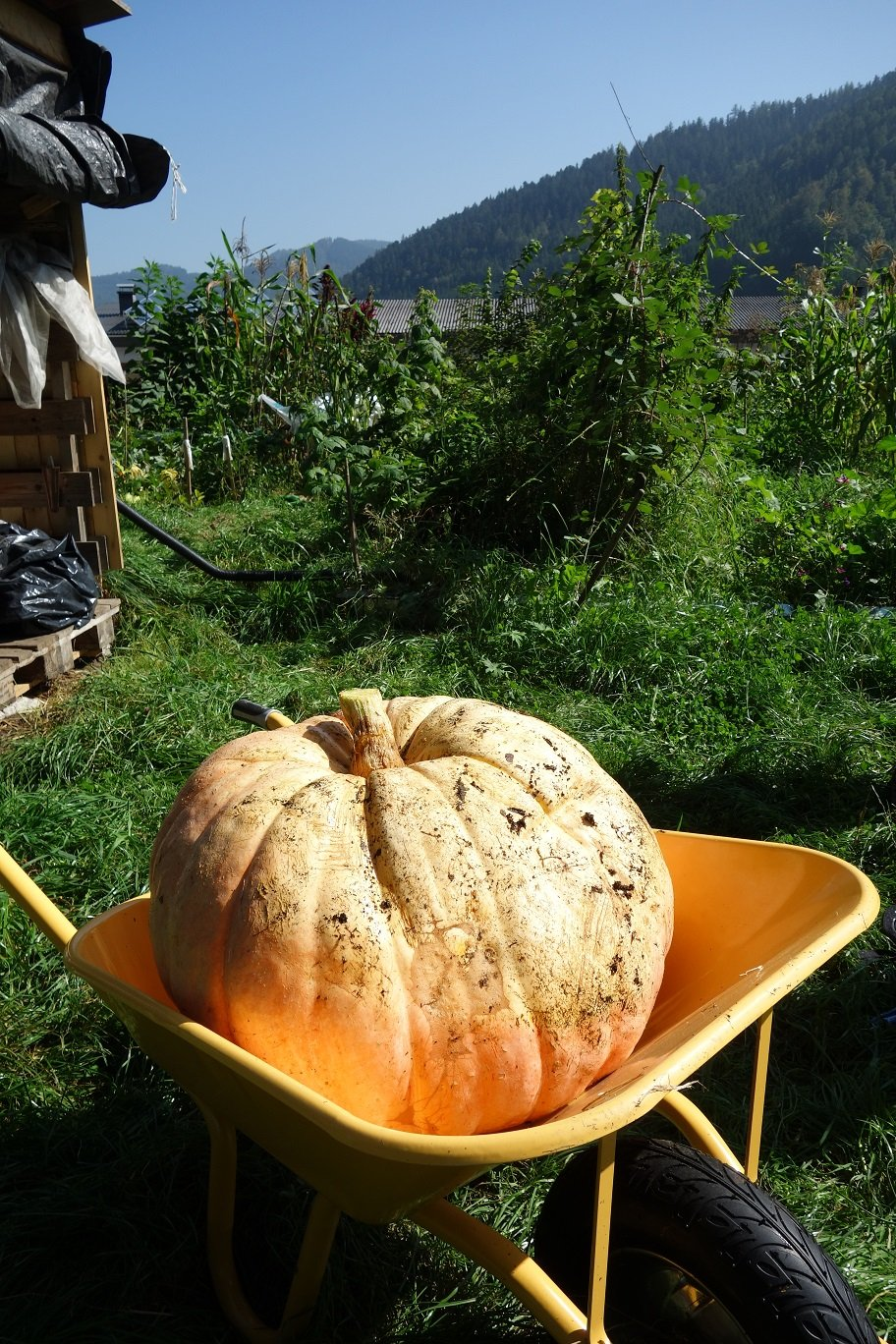 PUMPKIN 5 seeds �Giant atlantic�, world record largest,