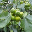 "Fig tree cuttings (""brown turkey"") 2 cuttings"