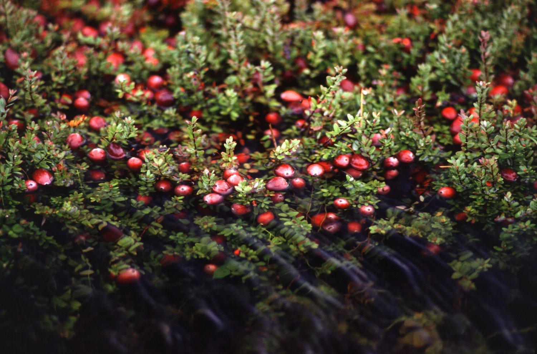 Cranberry bush 25+ seeds (Vaccinium macrocarpon)
