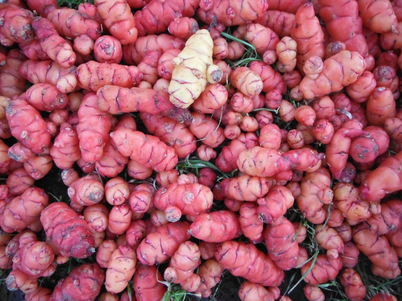 Oca 2 tubers (oxalis tuberosa) RARE exciting root vegetable