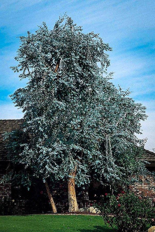 Blue gum tree (Eucalyptus globulus) - 1 small tree! Easy to grow!