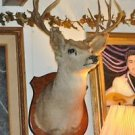 "Large 10 Point White Tail Deer Head Shoulder Mount 30 years old 37"" X 22"""