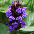 500 Heal All Seeds (Prunella Vulgaris)