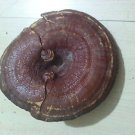 1 oz Reishi Mushroom (Ganoderma lucidum) Organic & Kosher China