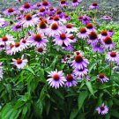 250 Purple Coneflower Seeds (Echinacea Purpurea) Organic
