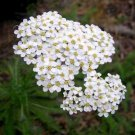 5000 White Yarrow Seeds (Achillea millefolium)