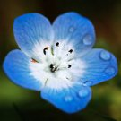 500 Baby Blue Eyes Seeds (Nemophila Menziesii)