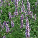 500 Anise Hyssop Licorice Mint (Agastache Foeniculum)