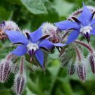 50+ Borage Herb Seeds (Borago officinalis)