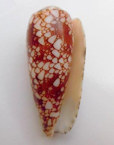Conus omaria 52.4 mm #0161