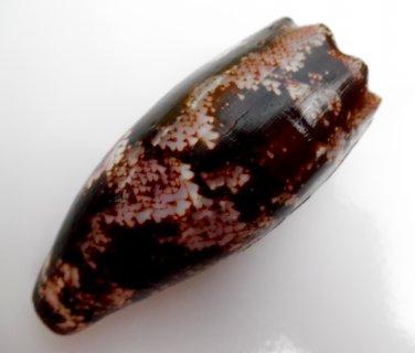 Conus geographus, 93.8 mm #0174