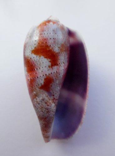 Conus tulipa 55.1 mm #0193