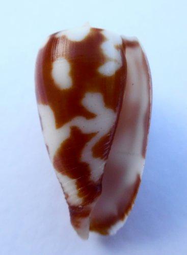Conus pica dolium 35.5 mm #0614