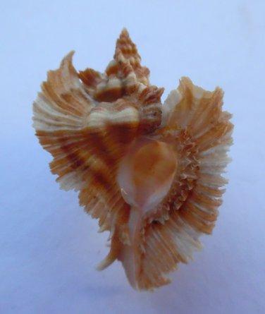 Pterynotus miyokoae, 54.5 mm