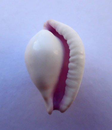 Ovula costellata, 39.2 mm
