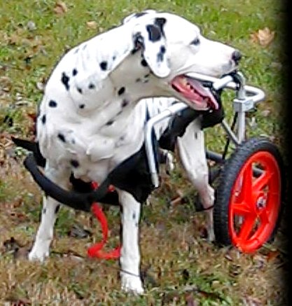 BEST FRIEND MOBILITY DOG MOBILITY WHEELCHAIR XL EXTRA LARGE DOGGIE KART CART